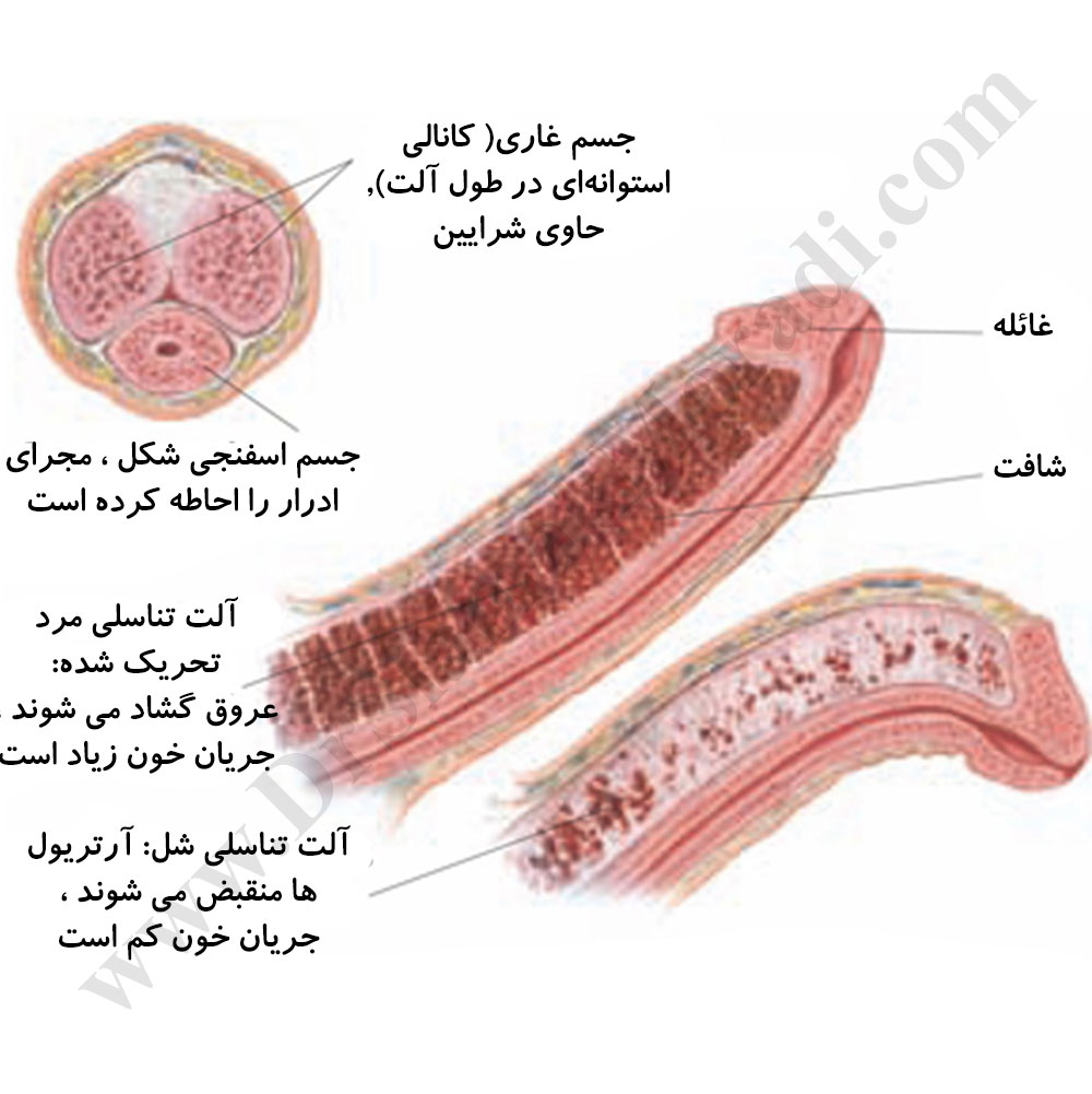 درمان درد آلت تناسلی مردان توسط دکتر سیامک مرادی فوق تخصص درد در کلینیک درد راد تهران